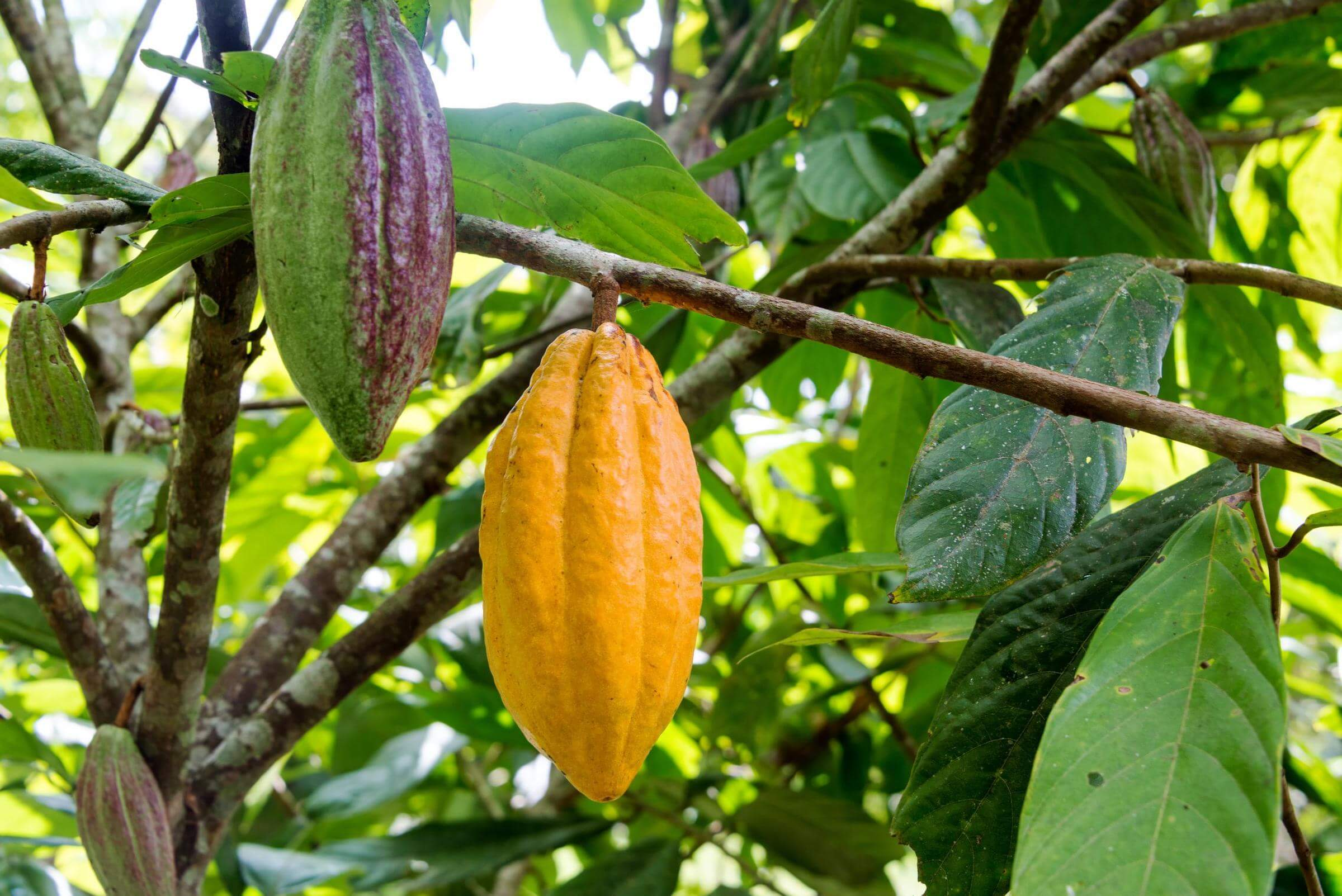 cara merawat tumbuhan kakao