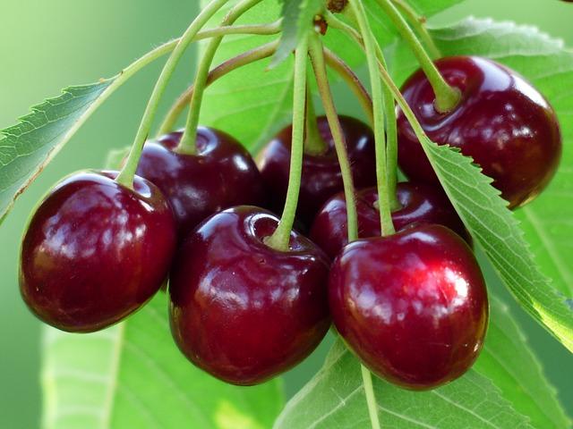 cara menanam cherry