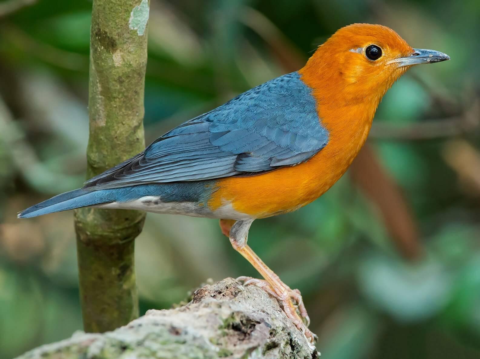 ternak burung anis merah