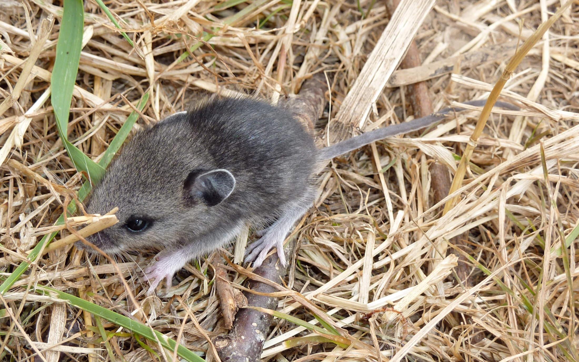 5 Cara Membasmi Hama Tikus dengan Oli Paling Efektif