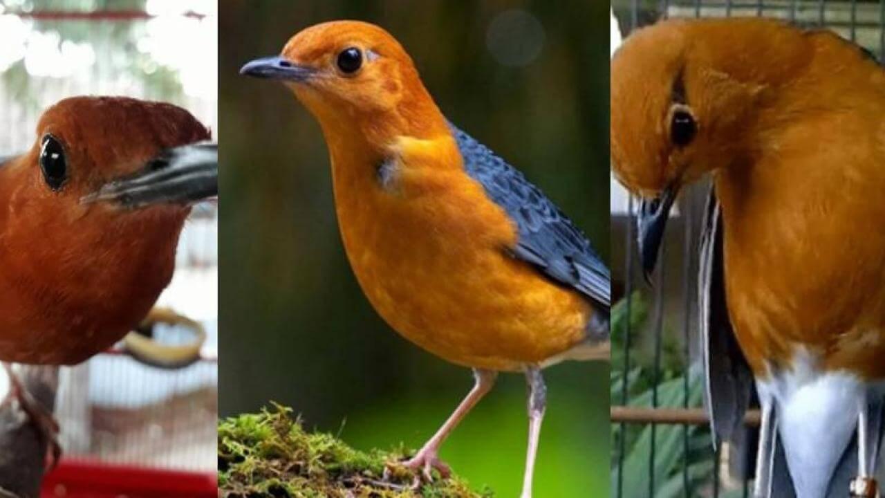 cara ternak burung anis bata