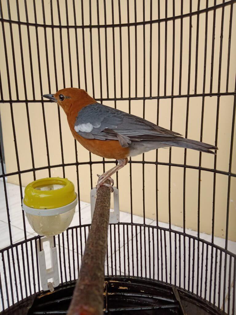 cara beternak burung anis merah