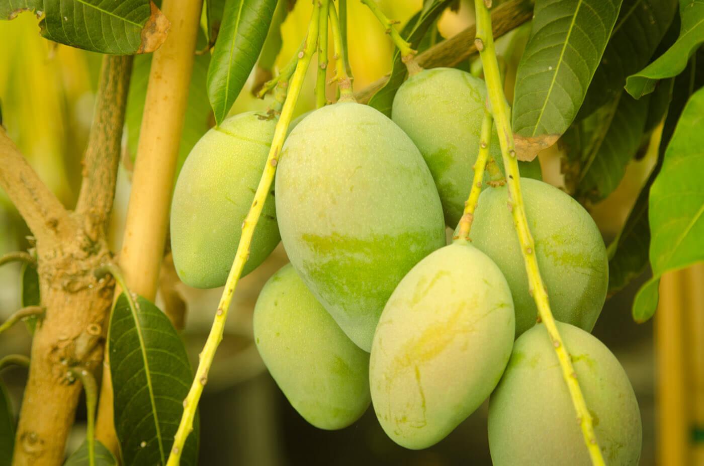 manfaat dari buah mangga