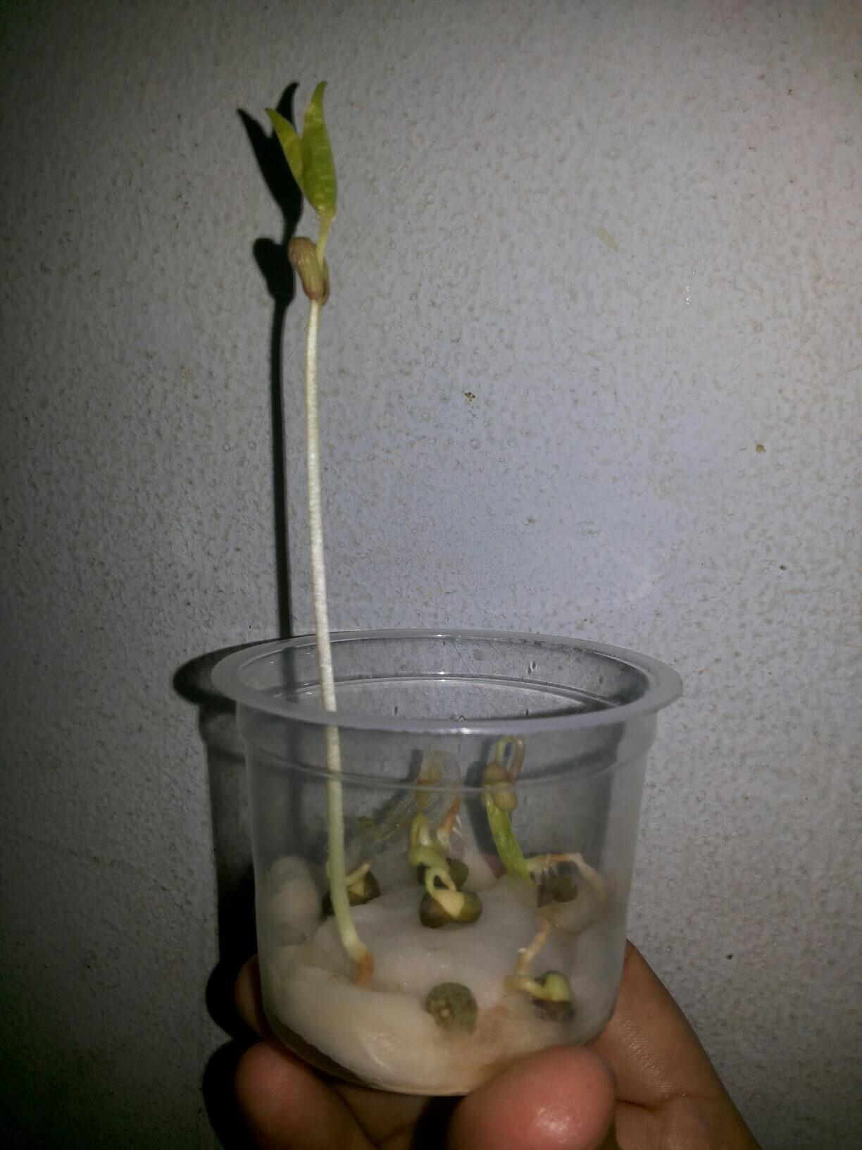 cara menanam kacang hijau menjadi kecambah