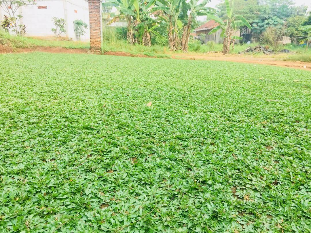 foto rumput gajah mini