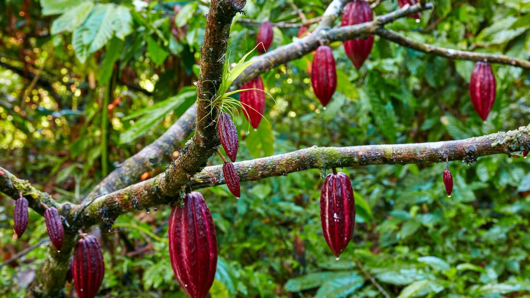 cara merawat pohon kakao agar berbuah banyak
