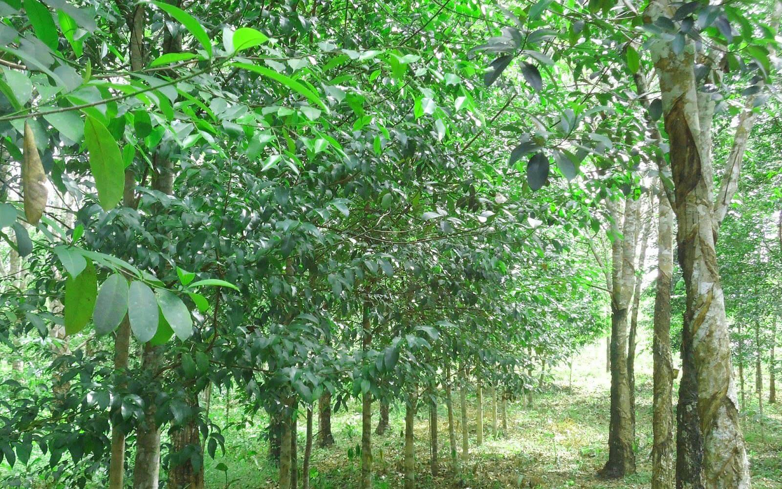cara menanam pohon gaharu dengan baik