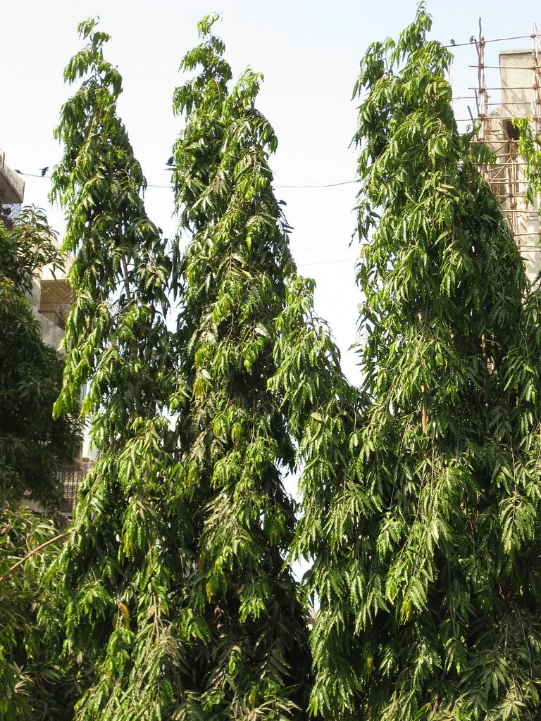 glodokan tiang (polyalthia longifolia)