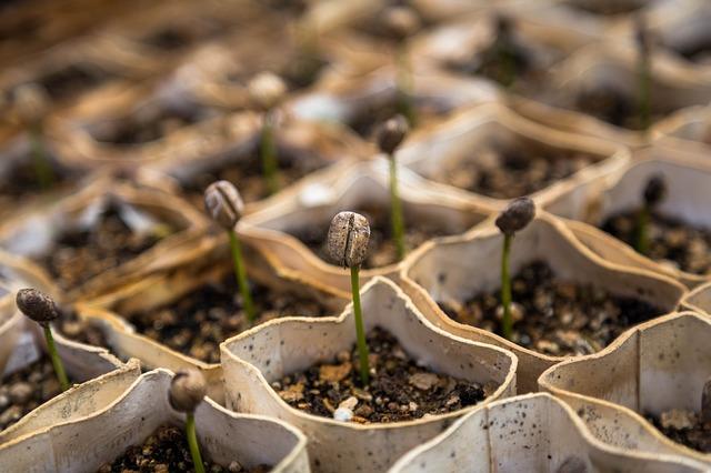 cara menanam kecambah dengan kapas