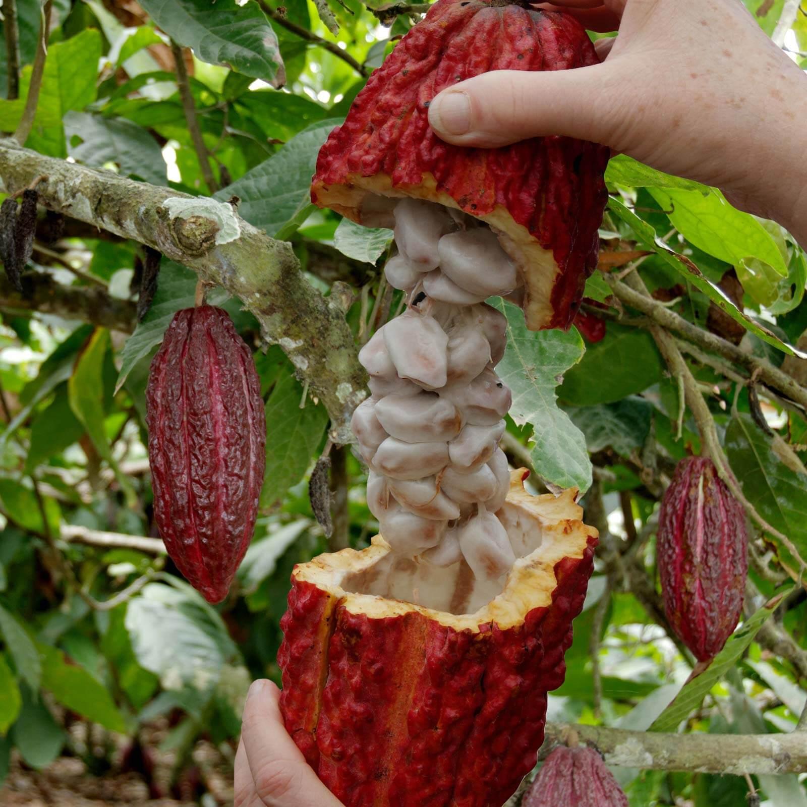cara memelihara tanaman kakao