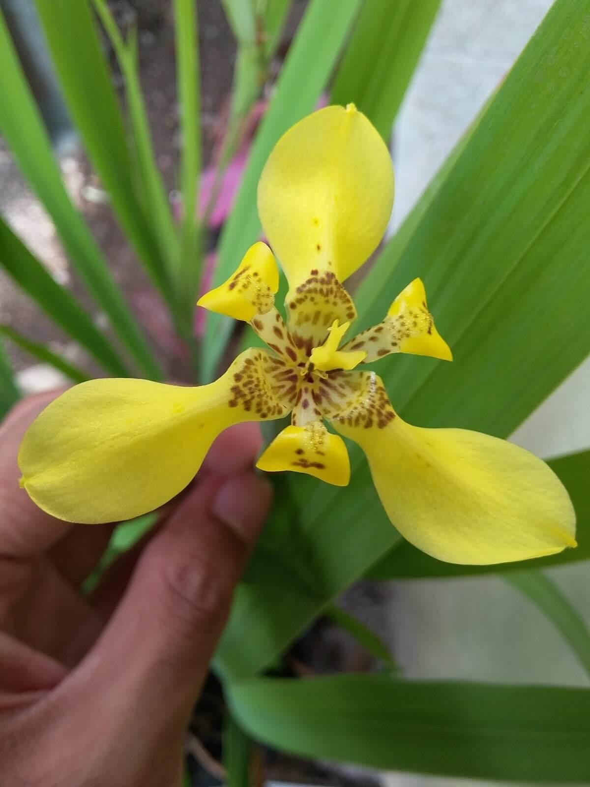 manfaat bunga iris kuning
