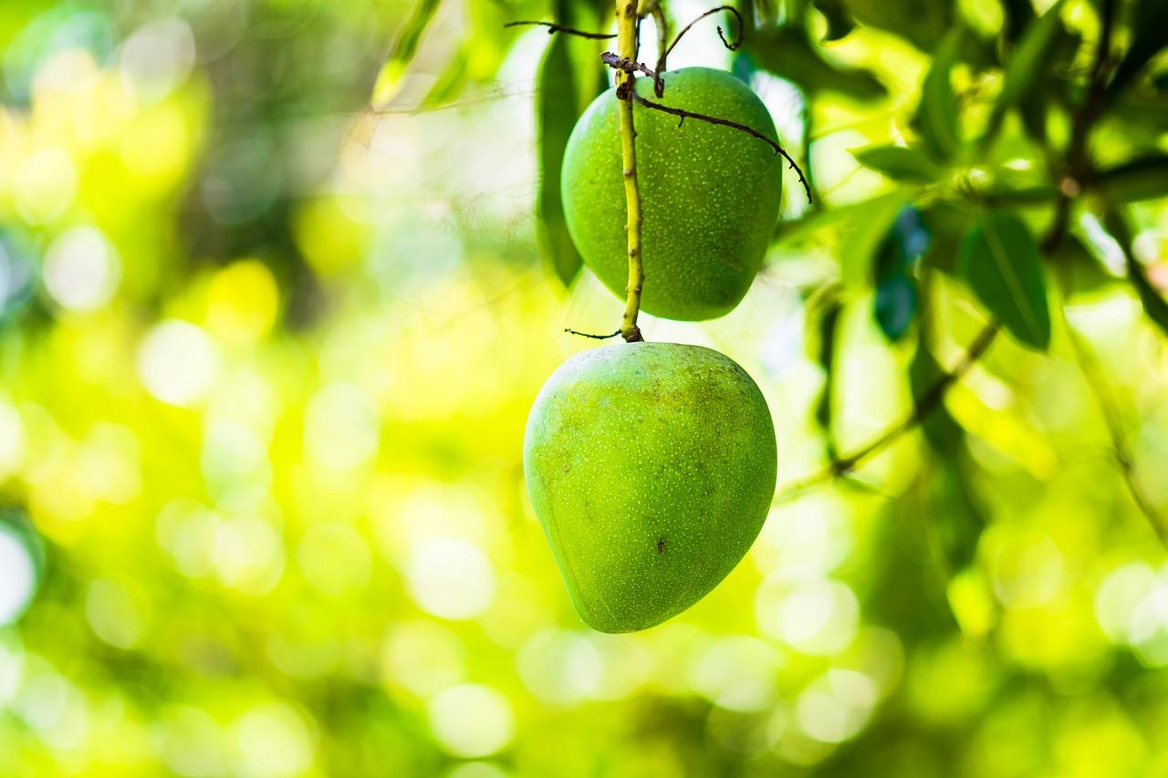 jenis pupuk perangsang buah mangga