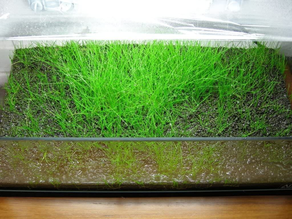 cara menanam hair grass di aquascape