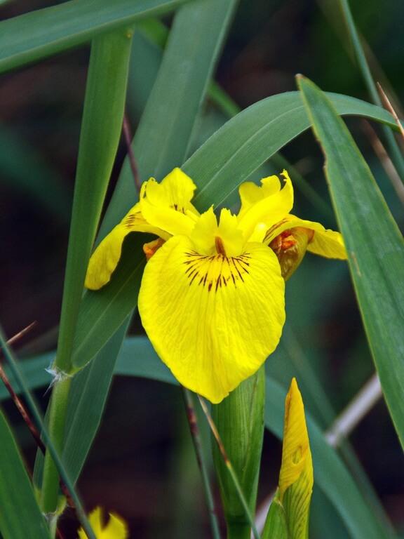 cara menanam bunga iris