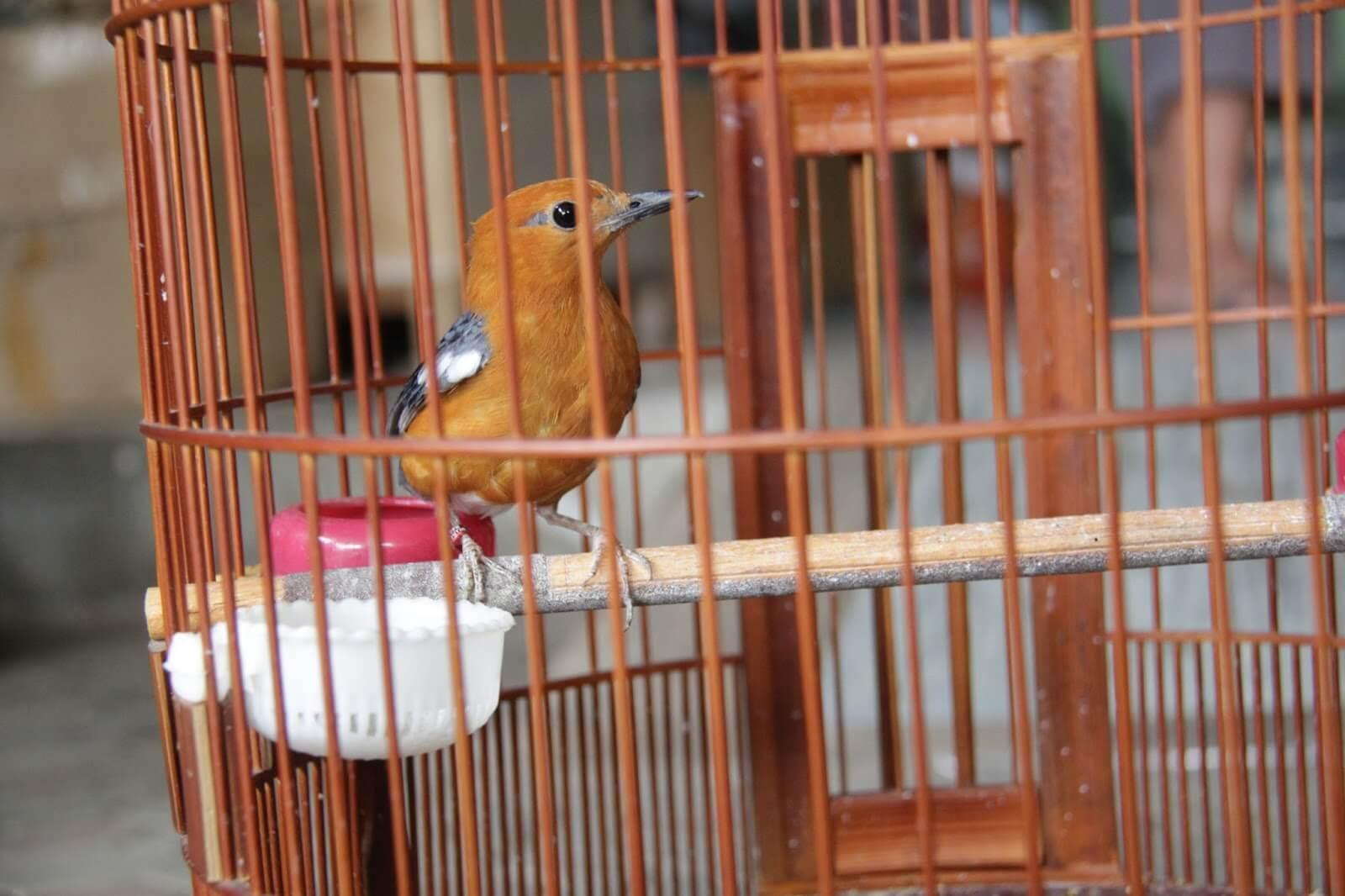 budidaya burung anis merah