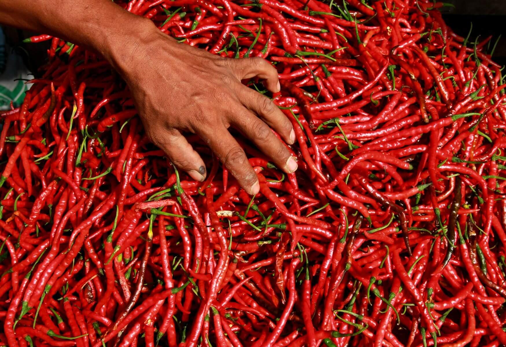 Panen Cabe Merah Keriting dalam Waktu yang Tepat
