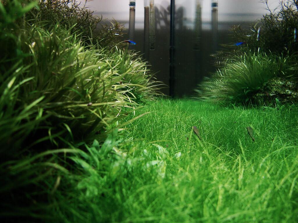 cara menanam benih hair grass