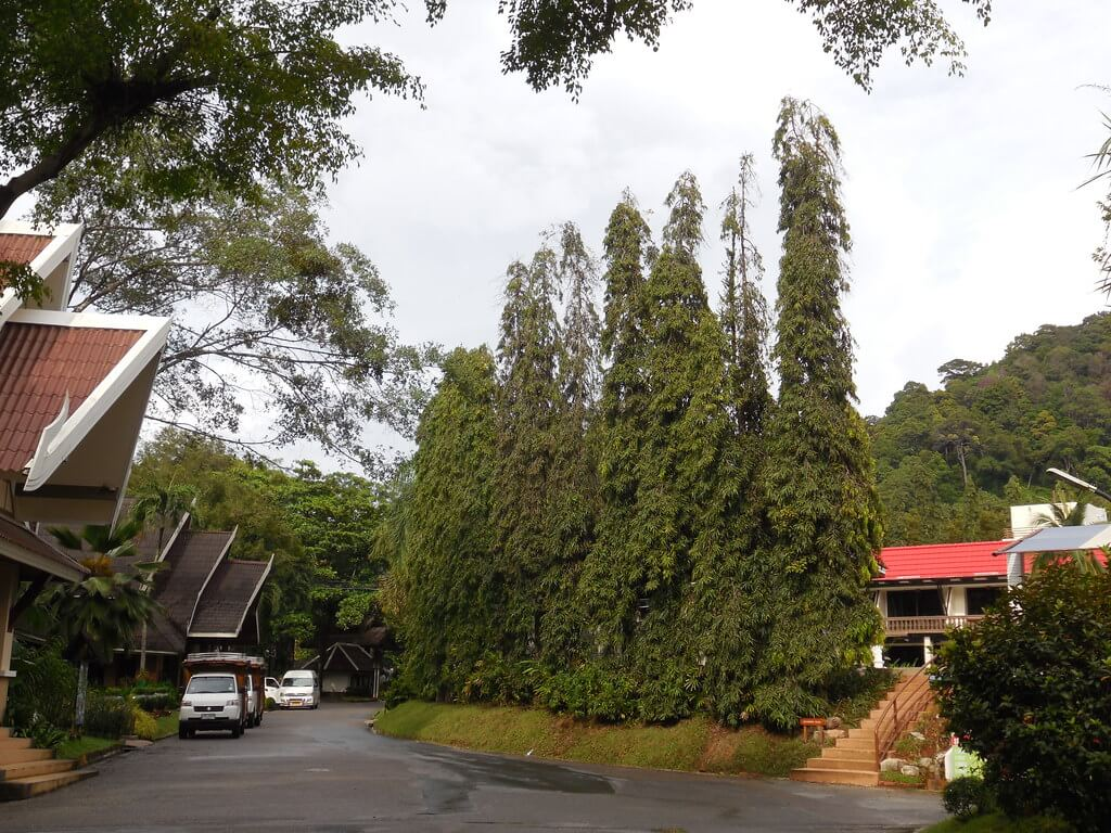 harga pohon glodokan tiang 1 meter