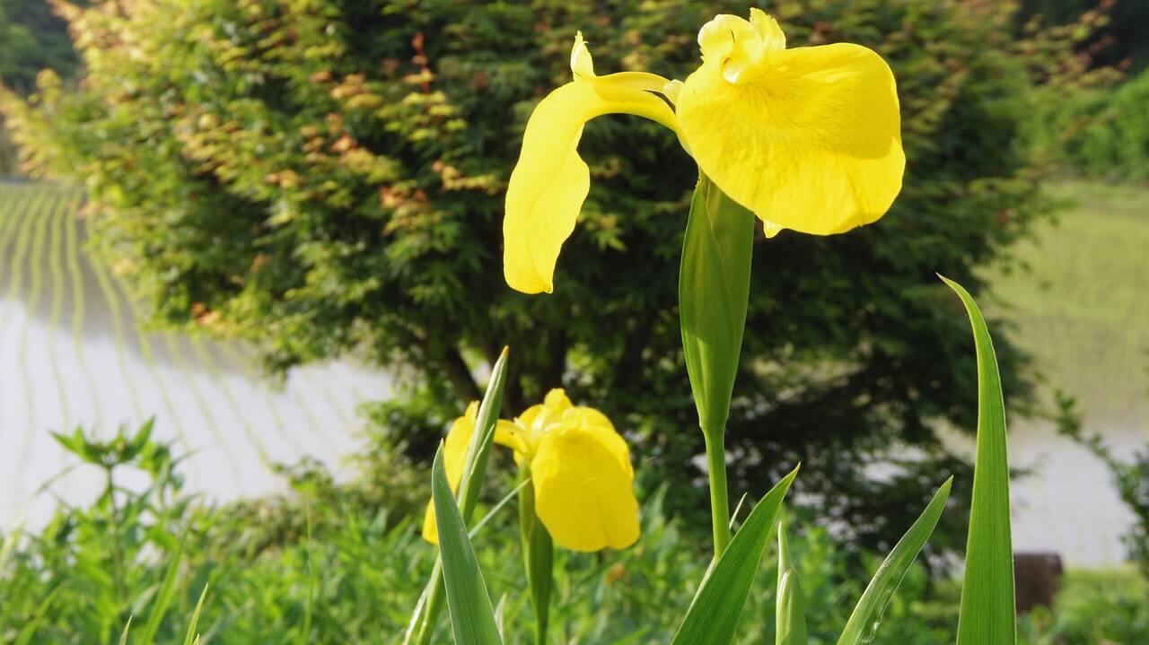 nama latin bunga iris kuning