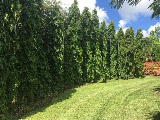 tanaman glodokan tiang