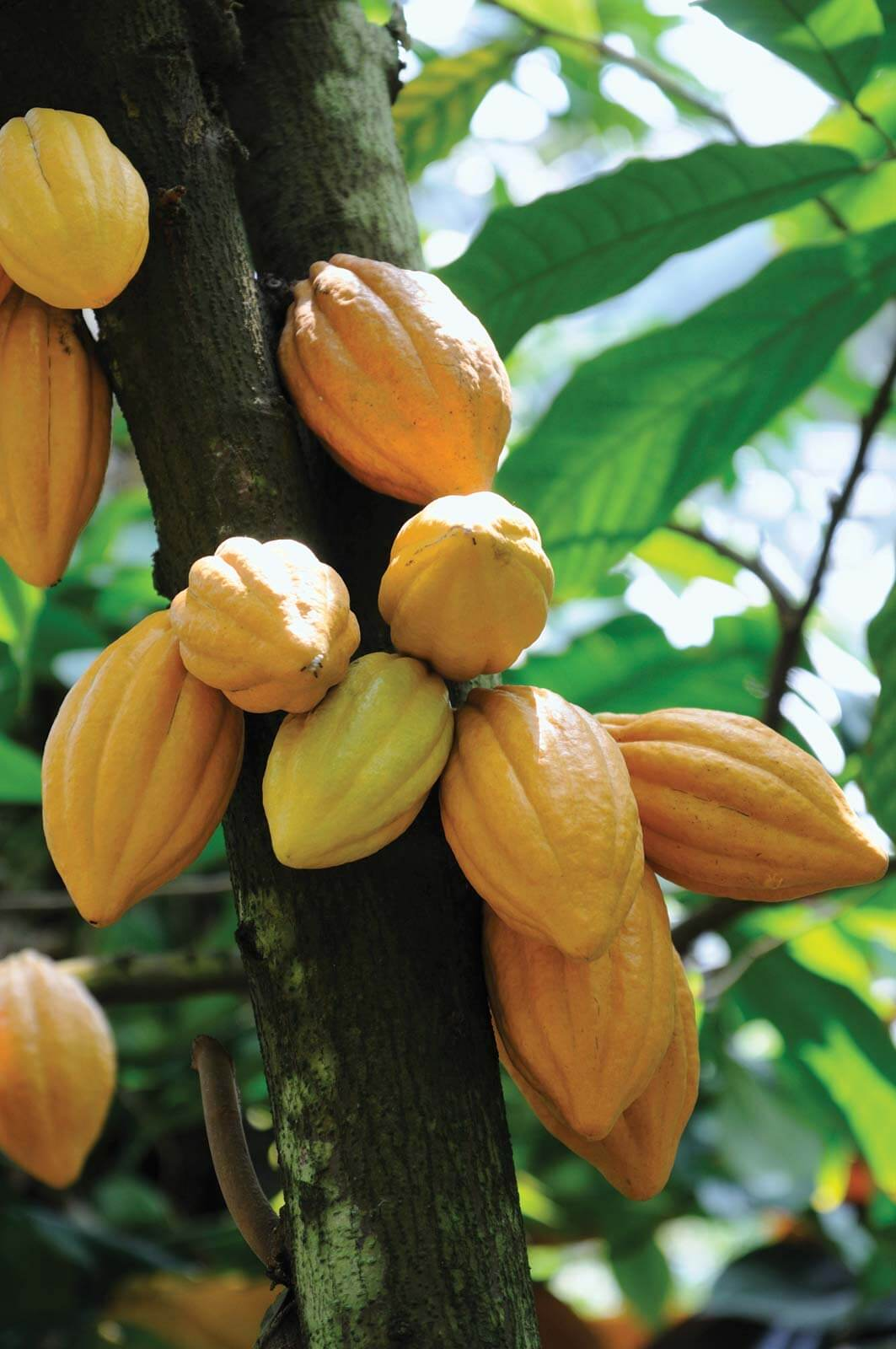cara merawat pohon kakao