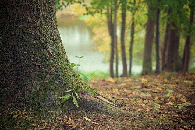cara menanam pohon matoa