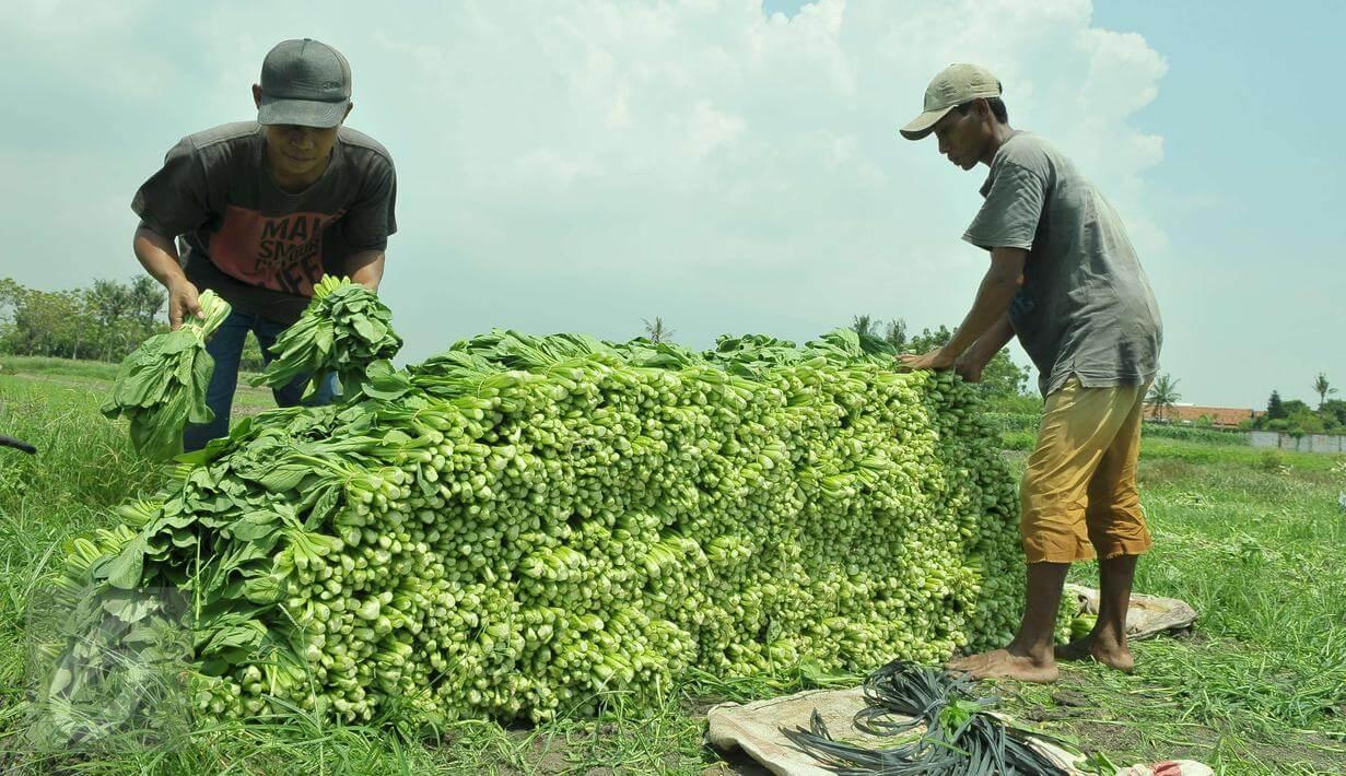 Urban Farming, Bertani Caisim di Perkotaan