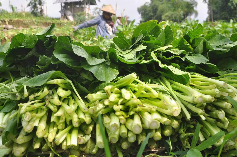 Produksi Caisim di Indonesia