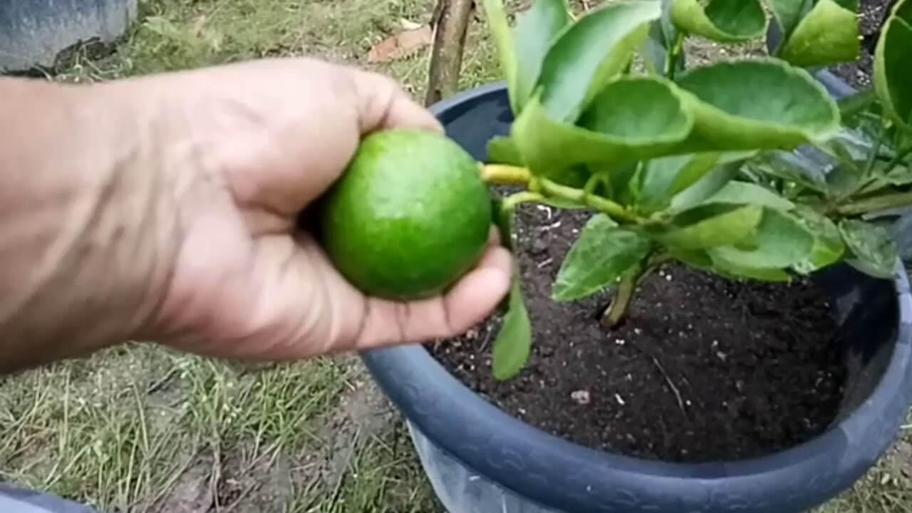 Perawatan Pohon Jeruk Nipis di Pot