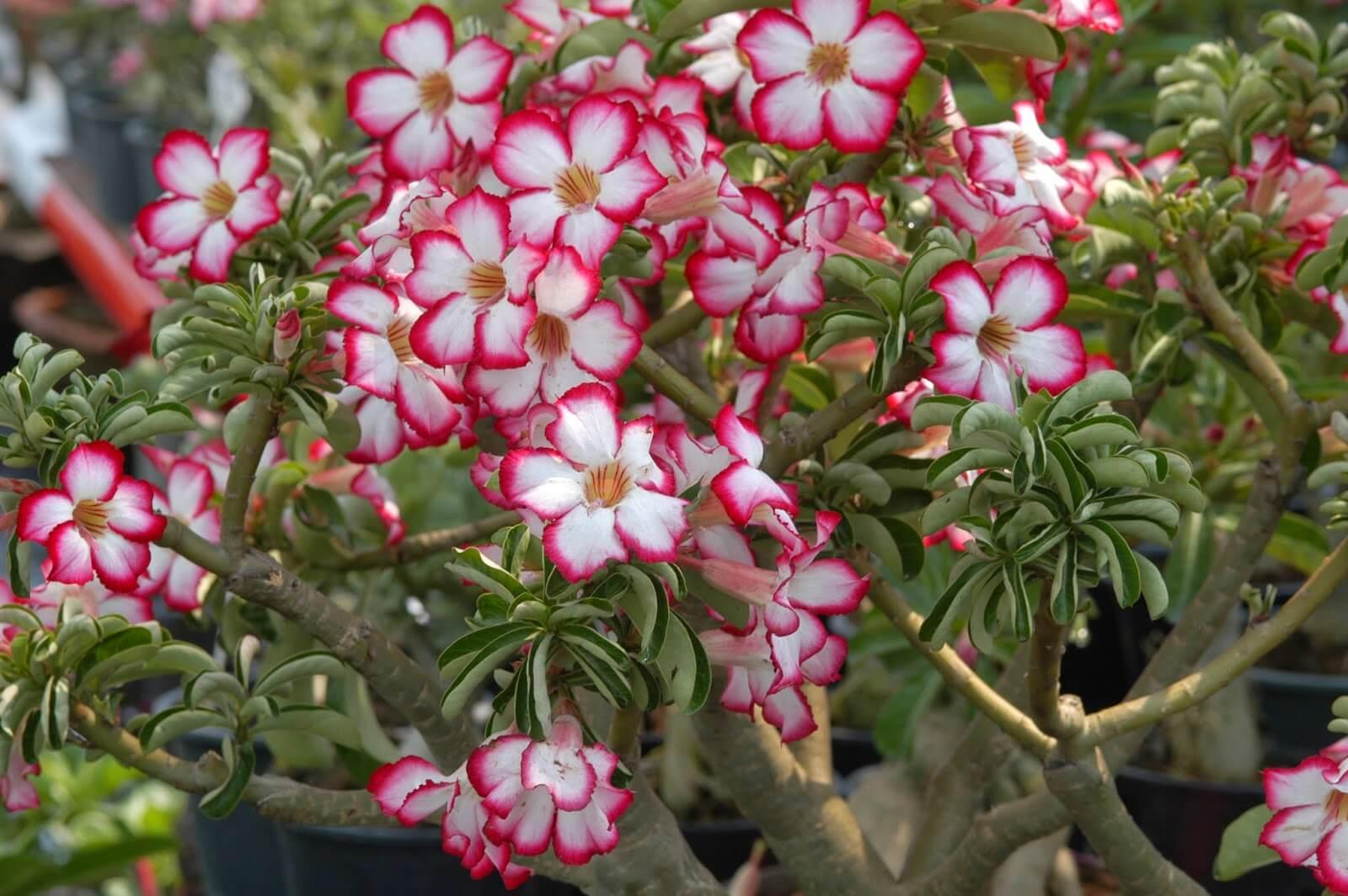 Vegetatif Vs Generatif Tanaman Bunga Kamboja
